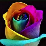 Rose Db
